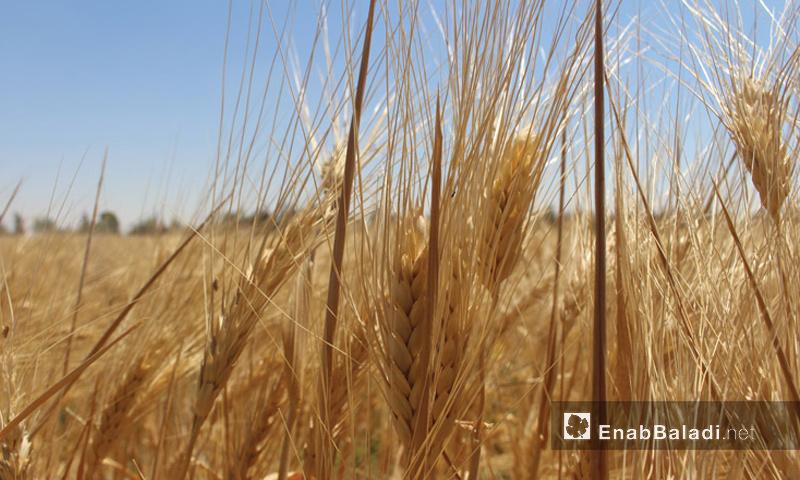 تعبيرية: محصول القمح في الغوطة الشرقية لدمشق (أرشيف عنب بلدي)