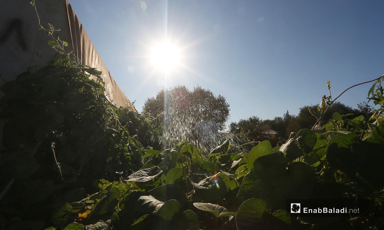 لا تقدم النباتات الظلال فحسب لكنها قدمت لأهالي المخيم عازلًا من الغبار وانتشرت رائحة الريحان في أنحائه  - تشرين الأول 2020 (عنب بلدي/ يوسف غريبي)