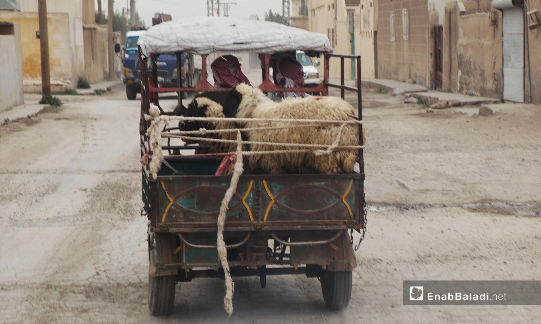 Sheep on a three-wheeled truck in al-Raqqa city - September 2020 (Enab Baladi - Abdul Aziz al-Saleh)