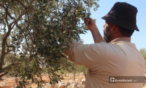 A day laborer in an olive grove in Idlib province – 16 October 2020 (Enab Baladi – Iyad Abdul Jawad)
